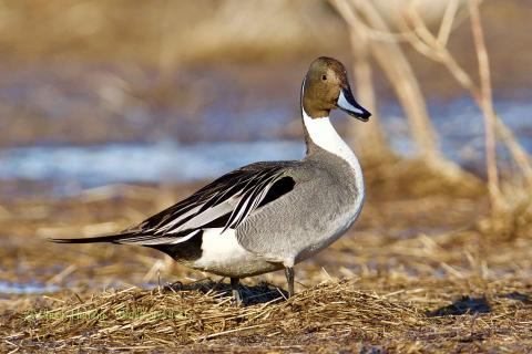 Pintail duck.