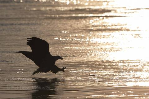 An eagle landing on the water at dusk.