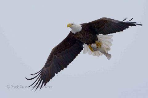 Eagle flying with fish