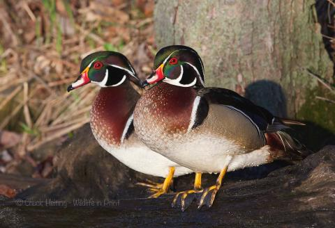 Wood ducks.