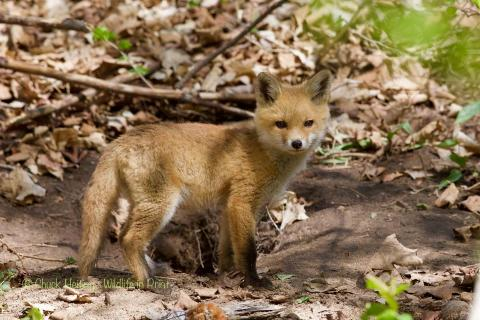 Fox pup by the den.