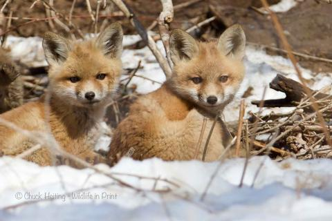 Fox pups in the snow.
