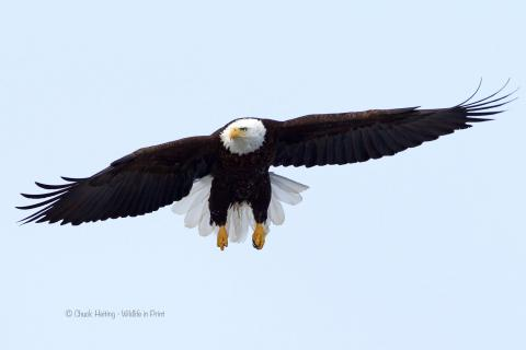 Eagle flight.
