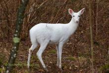 A picture of an albino deer.