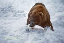 A bear catching a fish in a river.