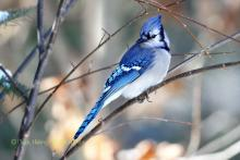 Bluejay in the snow.