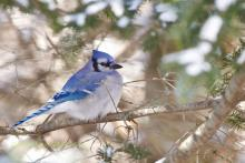 Bluejay in winter pines.