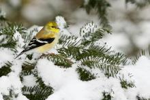 Goldfinch in pine.