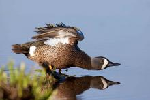 Blue wing teal.