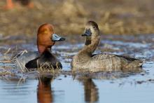 Red headed duck.