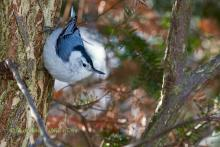 White breasted Nuthatch.