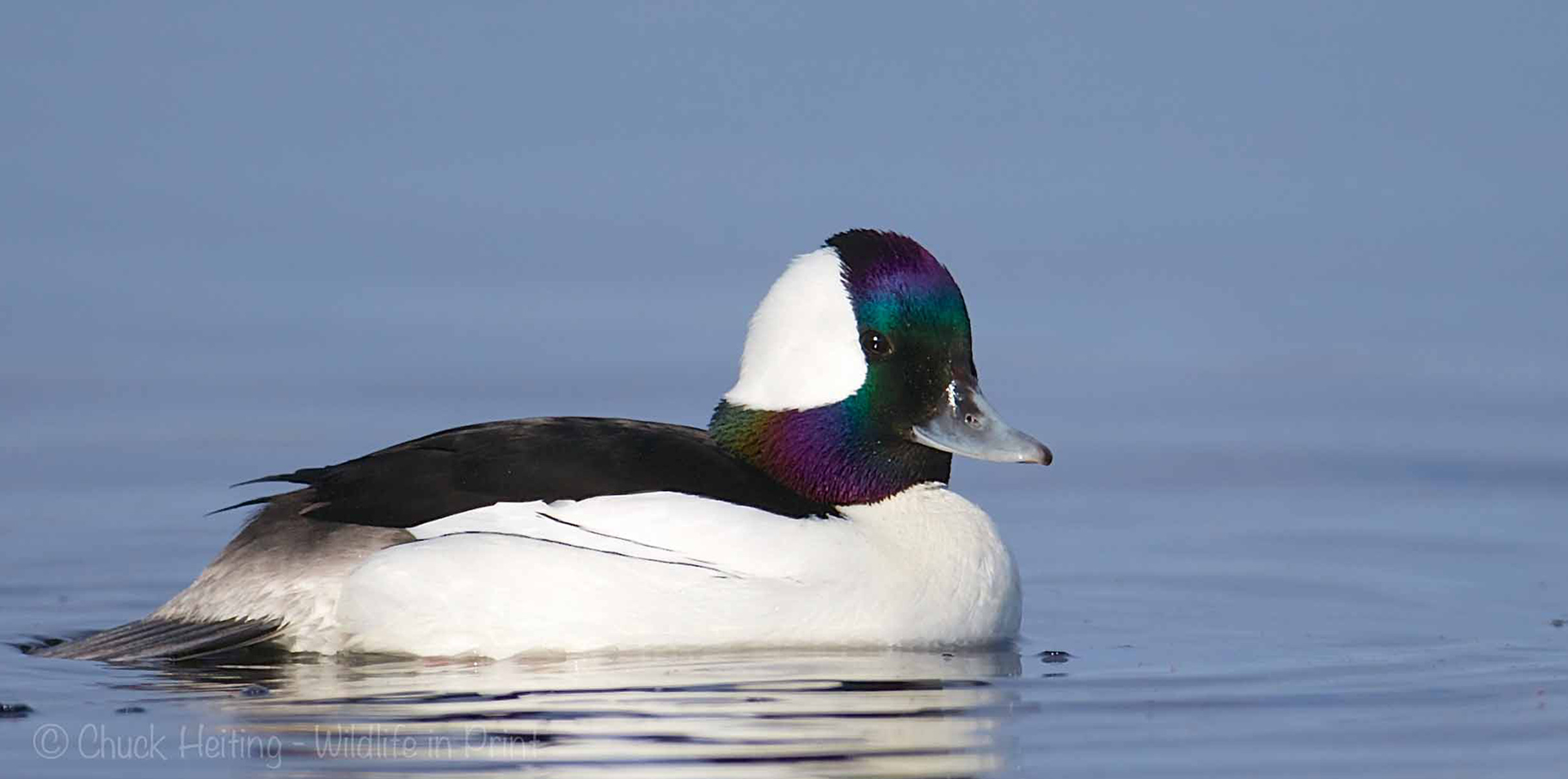 A picture of a bufflehead duck.
