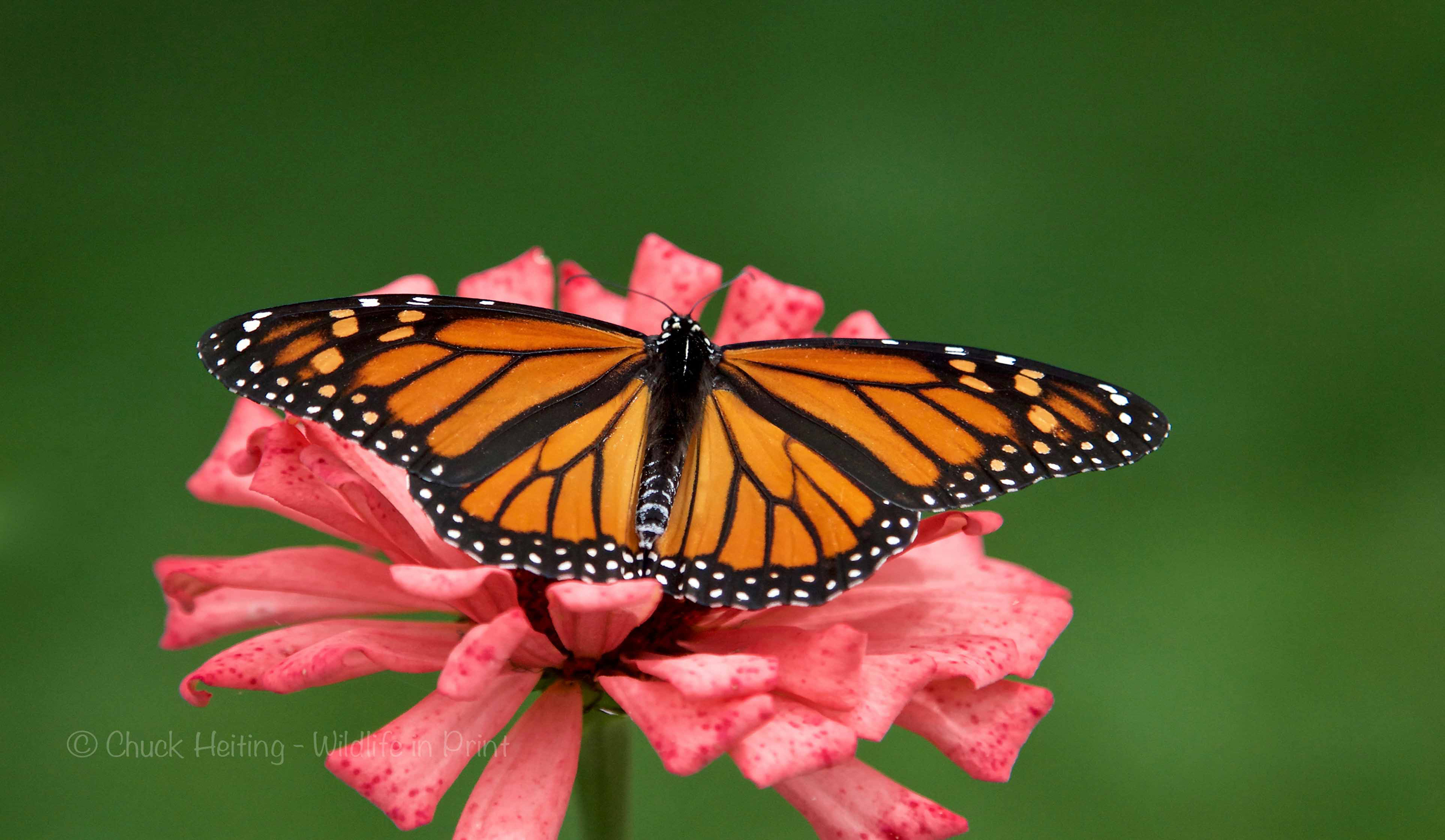 A picture of a monarch butterfly on a pick flower.