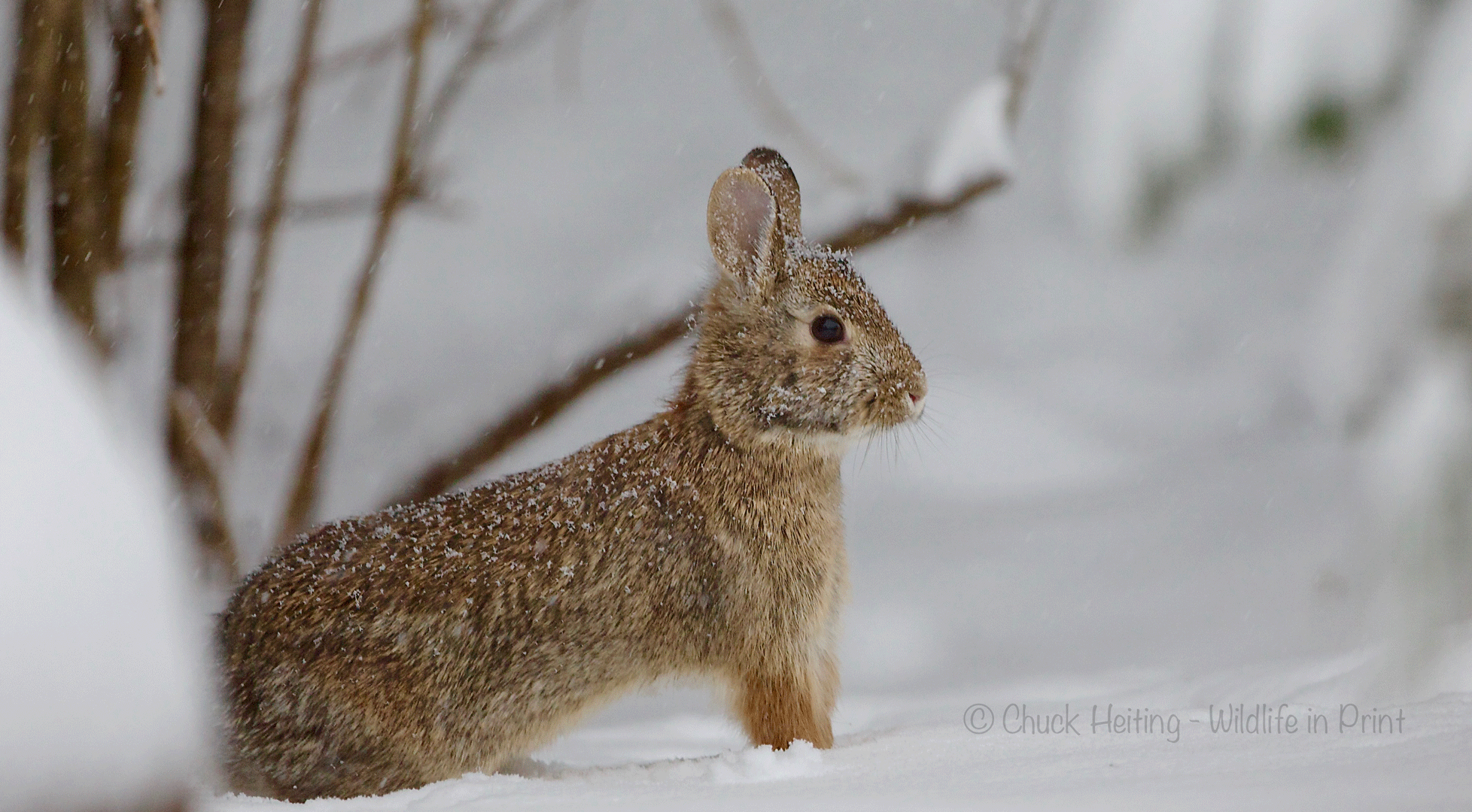 Picture of a rabbit in the snow.