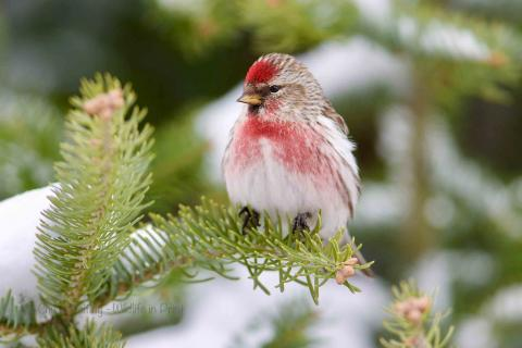 Redpoll in the snow.