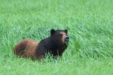 A bear walking in the tall grass.